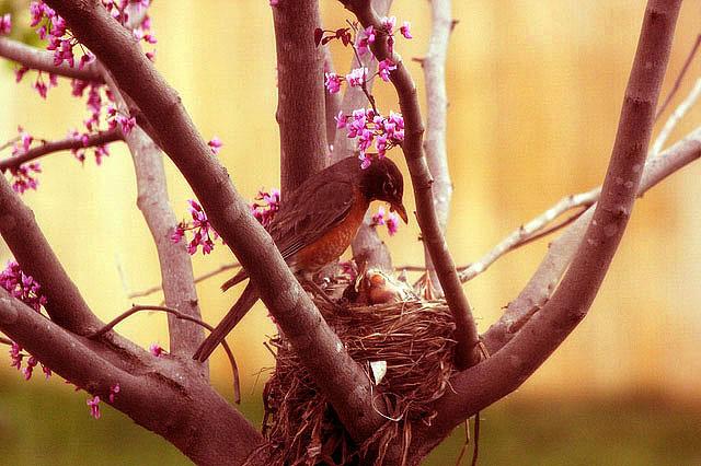 red mama feeds baby birds