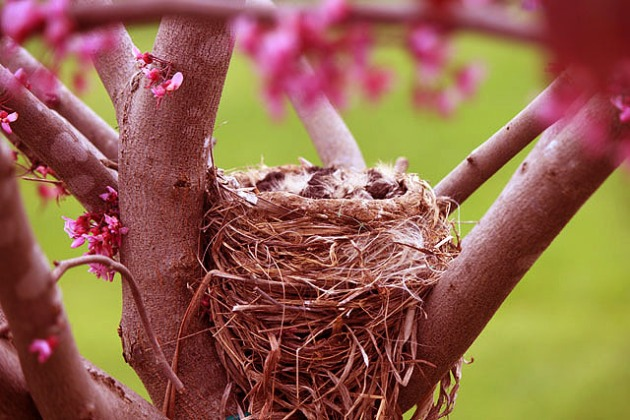 red nest in redbud