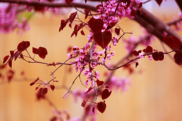 red redbud bloom heart leaves