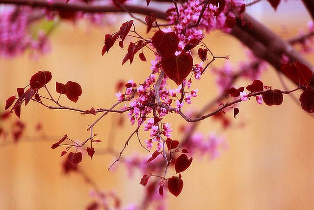 red redbud bloom heart leaves