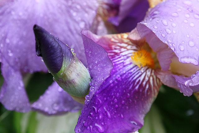 14 iris close drops