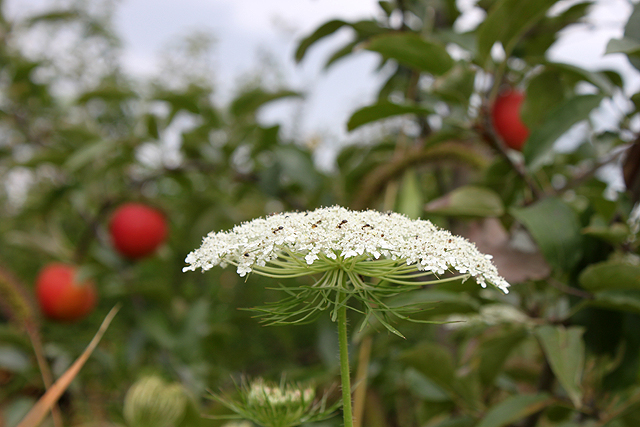 queen anne's lace apple background