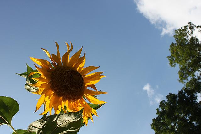 august sunflower 2