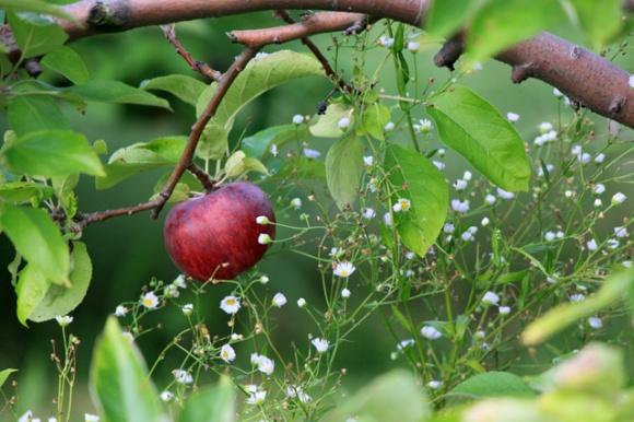 2.5 stuckey apple on branch little white flower