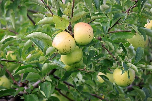 4 freckled apples