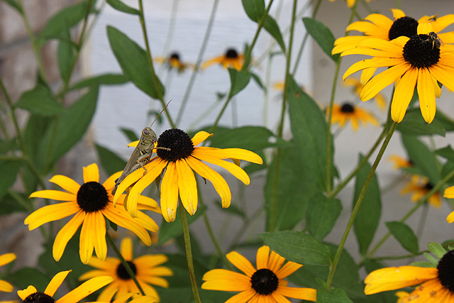 grasshopper perched on black eyed susan