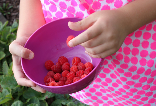 picking red raspberries and purple bowl