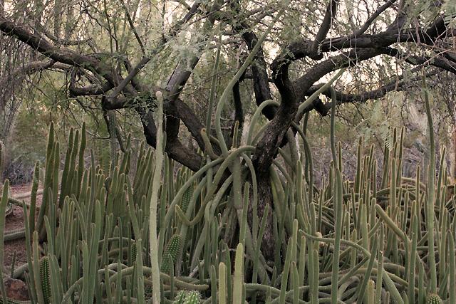 desert botanical 1