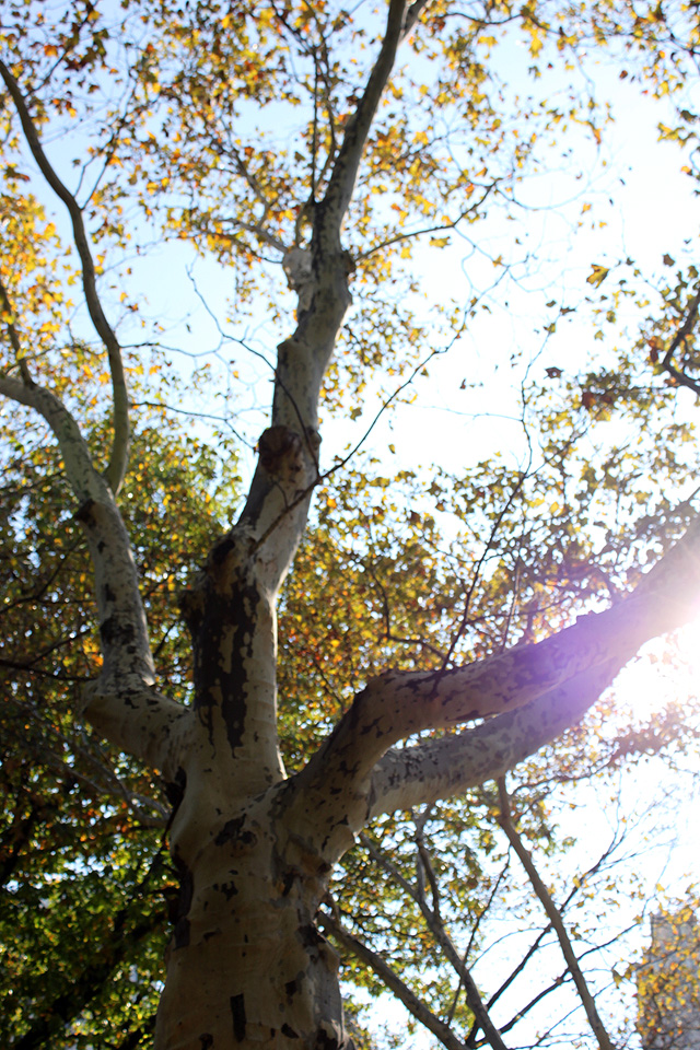 october birch in central park