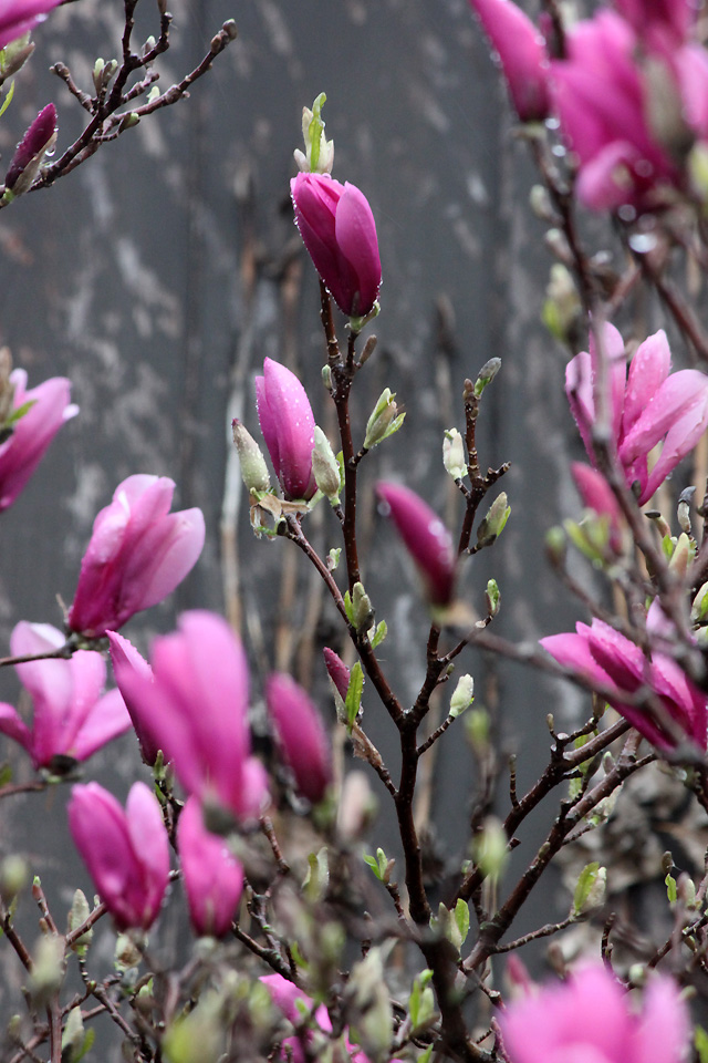 1 april 2015 dance rain 085 magnolia