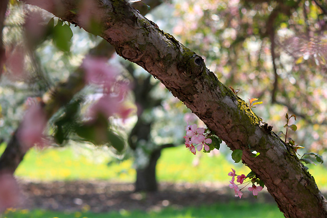 may petals 099 pink petals