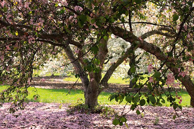 may petals 110 pink tree