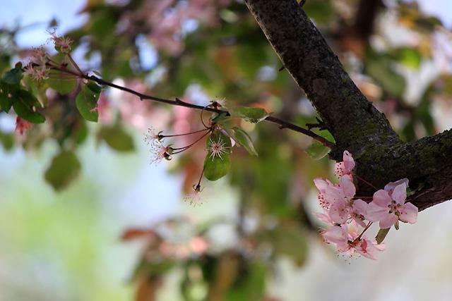 may petals 137 pink tree