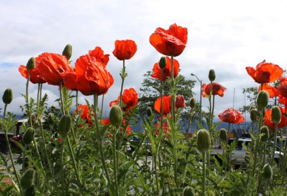 poppies sitka alaska2015 633